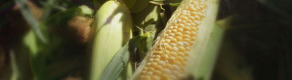 farmers-market-corn