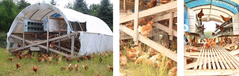 Sustainable and Ethical Farming of Laying Hens