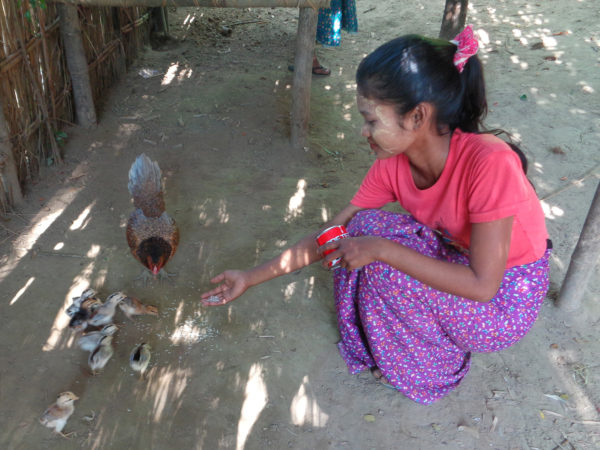 Myanmar chickens