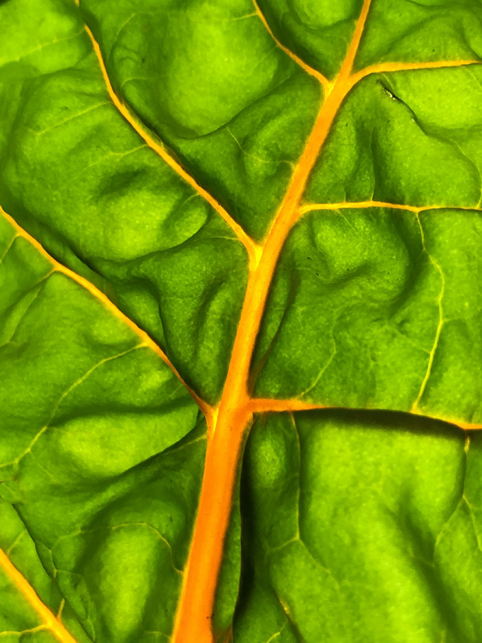 Yellow chard leaf